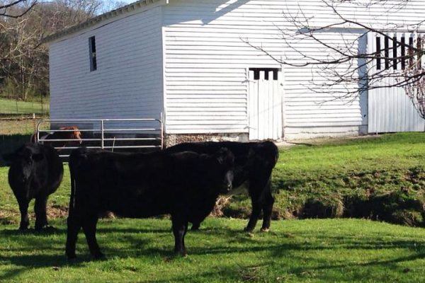 Local Ingredients: Lynchburg Beef by Farrar Farm
